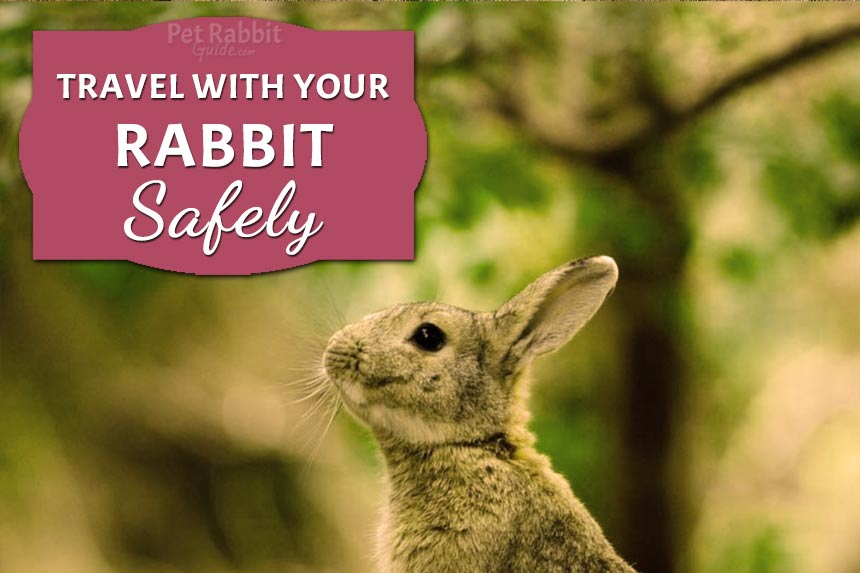 Travel with your rabbit safely